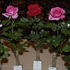 "Rose Show exhibits and friends : The pictures here were taken at various national, district and local rose shows. Roses are entered in specific classes. All varieties must be correctly named and meet the definition of each class. These include individual specimen, sprays (clusters of blooms on a single stem) and various combinations of blooms and/or sprays. They are also classed as modern large or miniature roses and ""Old Garden Roses"", antique roses with origins before 1867, or Victorian roses, after 1867. The roses pictured are trophy (best in class) and blue ribbon winners (highest designation of individual quality)."